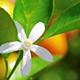 Vůně - Květ pomeranče (0)